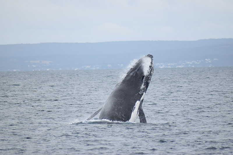 'Spy Hopping' Whale on the  Dunsborough Whale Watching Tour.