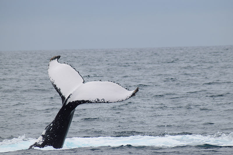 'Fluking' when a whale begins a deep dive, it lifts its tail into the air on the  Dunsborough Whale Watching Tour.